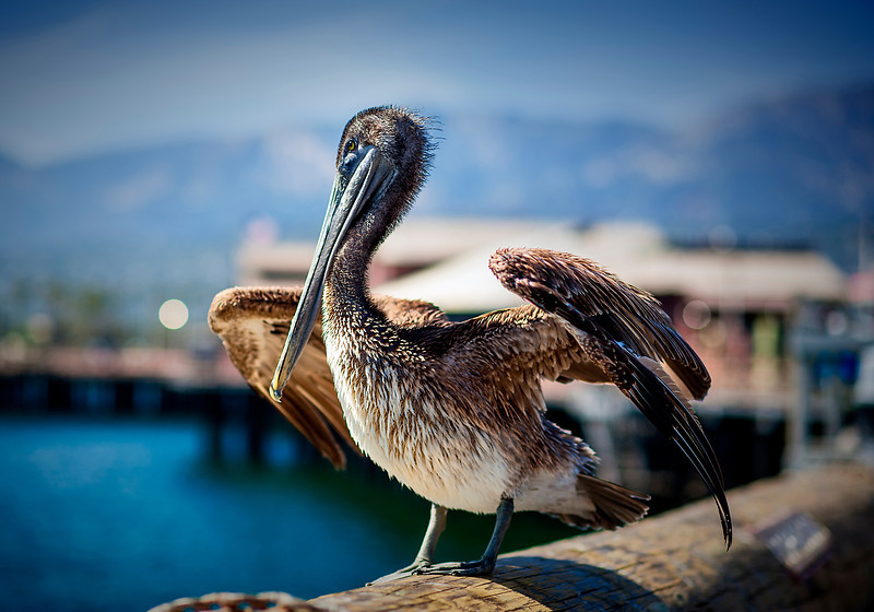 Ventura Pelican