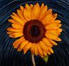 Sunflower Composite