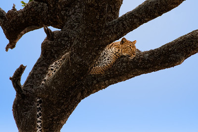 Un beau guepard de Serengeti.