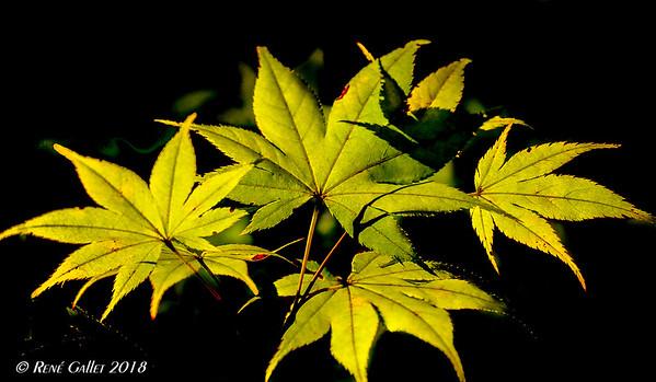 Yellow Maple 001
