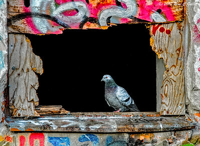 Pigeon Window