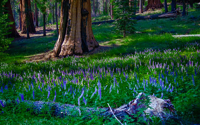 Lupine under the Giants