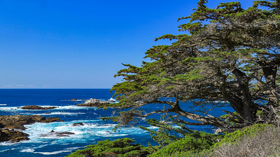 Monterey Bay Cypress