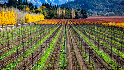 Fall Vines Napa Valley
