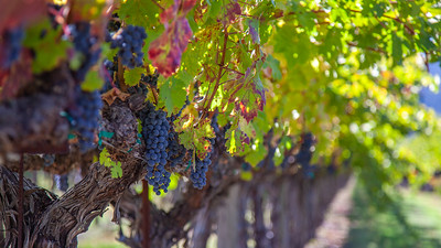 Ready to Pick - Napa Valley