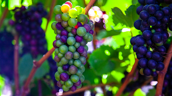 Ripening on the Vine