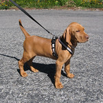 Kai from Juno & Toby in his EZX Harness. Start your puppy on one of these BEFORE they start pulling.