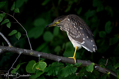 Kwak - Black-Crowned Night Heron