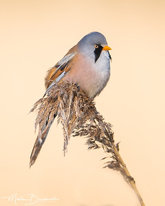 Bearded tit - Baardman - Bearded Reedling