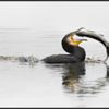 Aalscholver/Great Cormorant