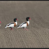 Bergeend/Shelduck