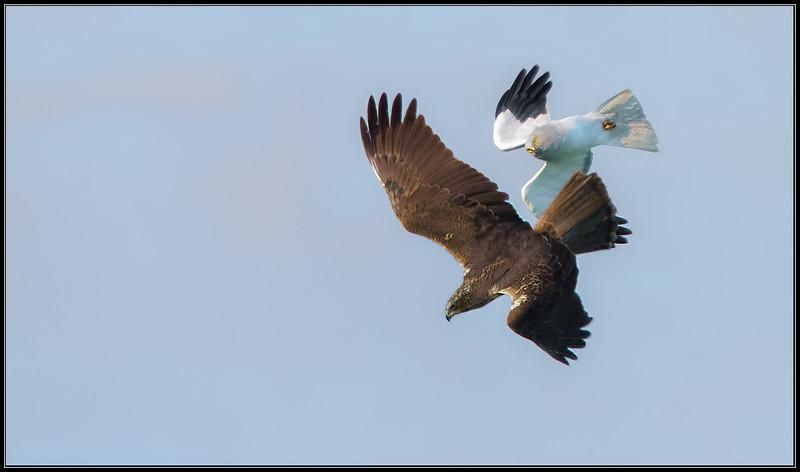 Blauwe Kiekendief/Hen Harrier-Bruine kiekendief/Marsh Harrier