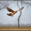 Blauwe Kiekendief/Hen Harrier