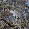 Blauwe Reiger/Grey Heron
