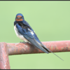 Boerenzwaluw/Barn Swallow