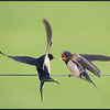 Boerenzwaluw/Barn Swallow
