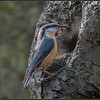 Boomklever/Nuthatch
