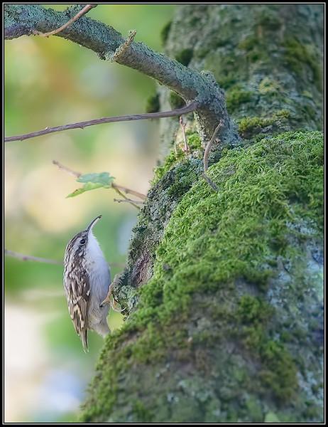 Boomkruiper/Short-toed treecreeper
