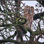 Bosuil/Tawny Owl