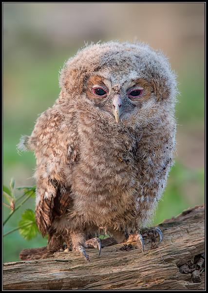Bosuil kuiken/Tawny Owl juvenile