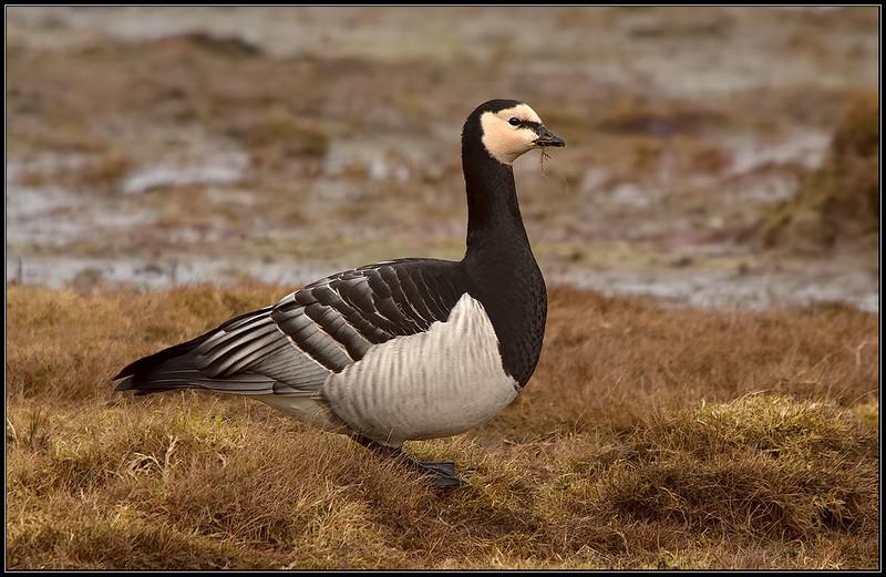 Brandgans/Burnacle Goose