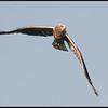 Bruine Kiekendief/Western March Harrier