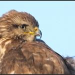 Buizerd/Common Buzzard
