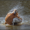 Casarca/Ruddy Shelduck