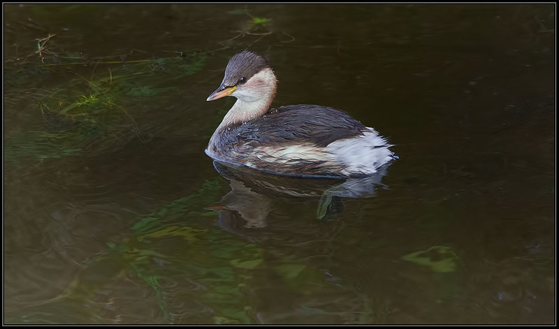 Dodaars/Little Grebe