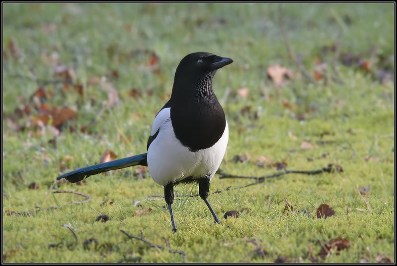 Ekster/Eurasian Magpie