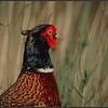 Fazant/Pheasant
