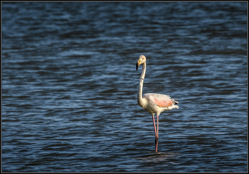 Flamingo/Greater Flamingo