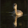 Fuut/Great Crested Grebe