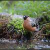 Goudvink/Eurasian Bullfinch