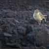 Graspieper/Meadow Pipit