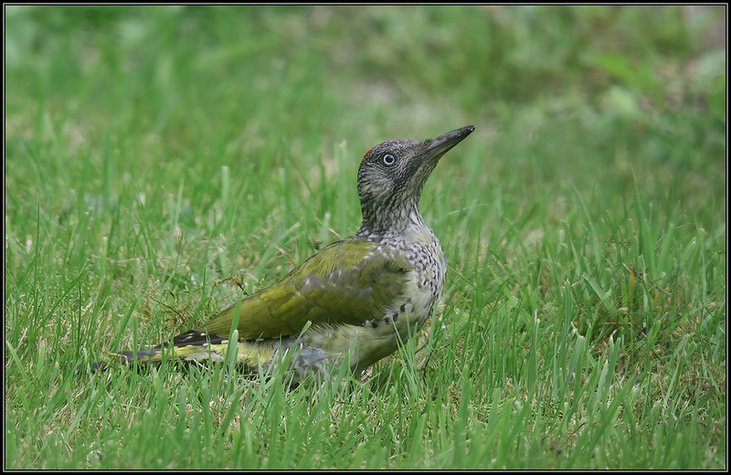 Groene specht/European Green Woodpecker