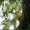 Groene specht/European Green Woodpecker