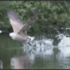 Grote Canadese gans/Canada goose