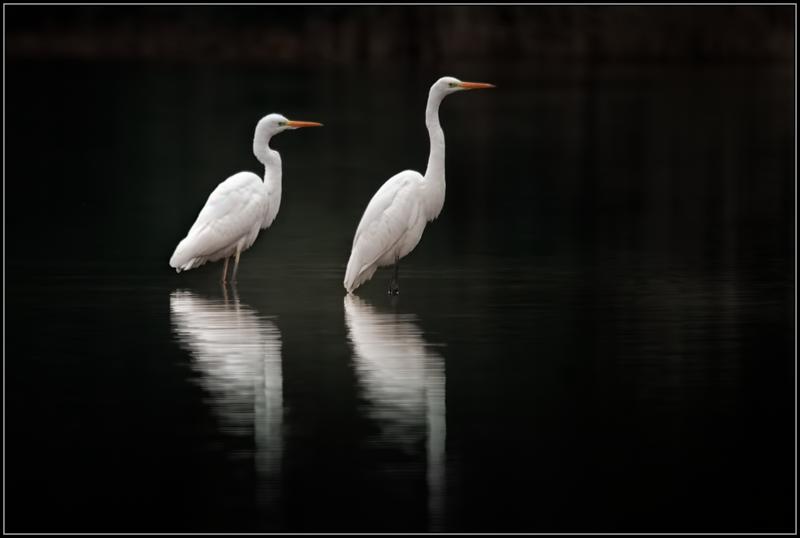 Grote zilverreiger/Western Great Egret