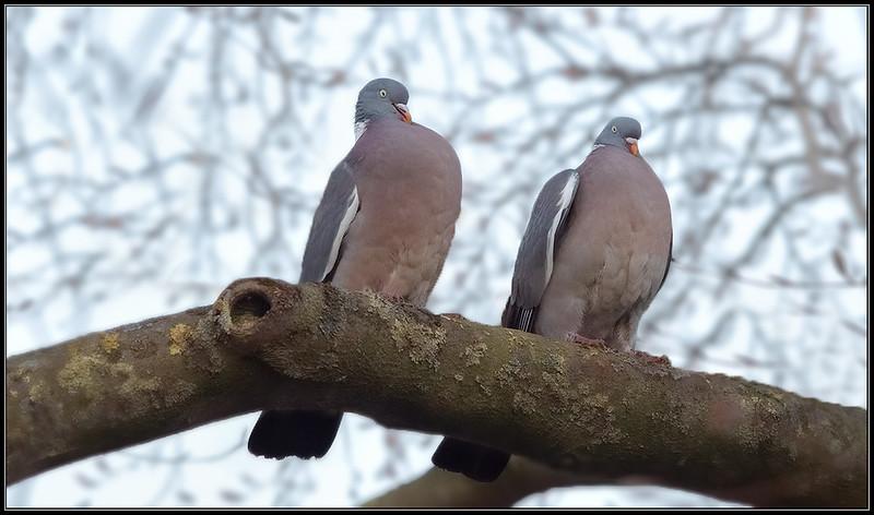 Houtduif/Common Wood Pigeon