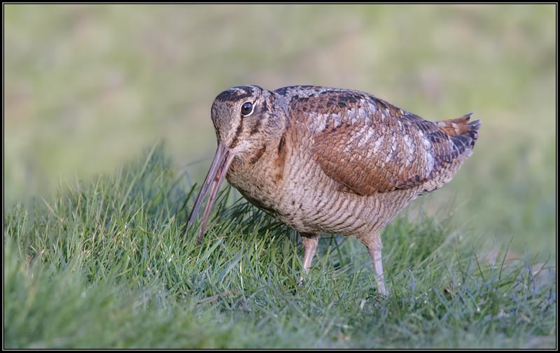 Houtsnip/Eurasian Woodcock