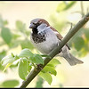 Huismus/House Sparrow