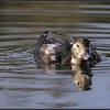 IJseend/Long-tailed Duck