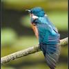 IJsvogel/Kingfisher