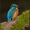 IJsvogel/Kingfisher