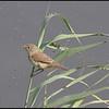 Kleine Karekiet/Reed Warbler