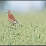 Kneu/Common Linnet
