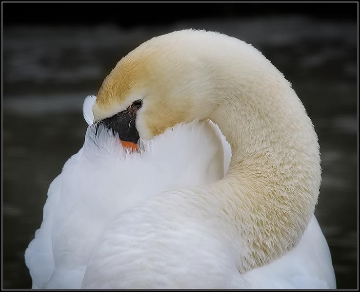 Knobbelzwaan/Mute Swan