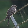 Koekoek/Cuckoo