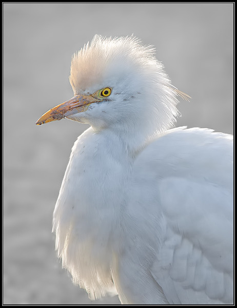 Koereiger/Cattle Egret